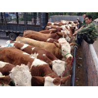 吉林肉牛养殖繁育改良基地任意挑选不满意可退可换
