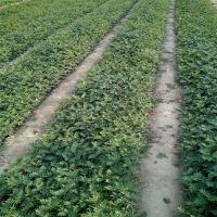 大红袍花椒苗哪里卖?鑫豪园艺场大量出售,山东种植基地?