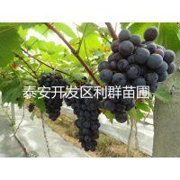 2015年葡萄苗价格 2015年葡萄树苗 葡萄苗价格 葡萄苗批发 葡萄树报价