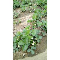 基地大量出售优质草莓苗----甜查理 章姬 红颜 草莓苗价格便宜的草莓苗