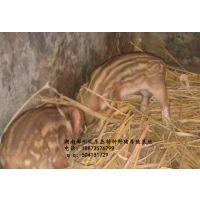 供应郴州特种野猪种苗