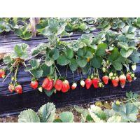 优质法兰地草莓苗、江北法兰地草莓苗、乾纳瑞农业科技在线咨询