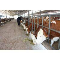 肉牛犊夏洛莱牛小牛犊价格 合肥牛犊价格