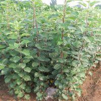 富士冠军苹果树苗几年结果 富士冠军苹果树苗种植技术
