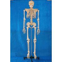168CM透明胸骨人体骨骼 厂家直销