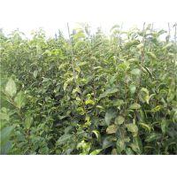 大量供应梨树苗,梨树苗价格,黄金梨苗
