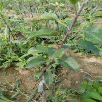 矮化苹果苗 寄根矮化砧苗 秋季芽接苹果新品种