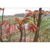 山东红油香椿苗 品种纯正价格低廉 批发香椿苗