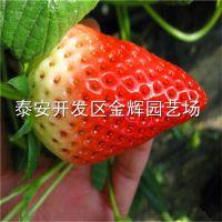 基地供应脱毒章姬草莓苗 草莓苗的价格 保成活价格低
