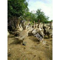 供应广西合浦狮头鹅苗 生长周期产蛋料肉比优良鹅种 70天均重12斤