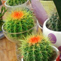 产地批发多肉植物迷你实生小仙人球 金冠 办公桌面防辐射绿植盆栽