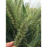 抗旱抗病抗盐碱小麦新品种小麦种子三抗10号