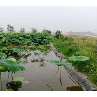 莲菜池套养泥鳅黄鳝藕池铺膜一亩地投资成本多少钱