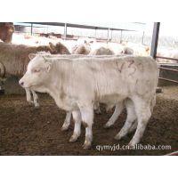 传授改良优质肉羊种苗繁殖 怀孕母羊 黑山羊 讲解养殖技术