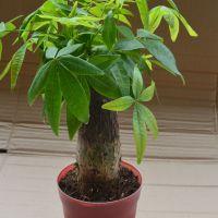 批发供应迷你盆栽小发财树绿化树木支架苗种子迷你植物花卉盆景
