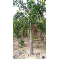 大量供应各类规格狐尾椰,树形美观,价格公道