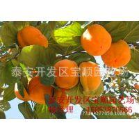优质柿子树苗供应 柿子苗批发 柿子苗价格 柿子苗多少钱一棵
