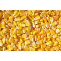 山西神池大量供应优质玉米粒 先锋38p05色泽金黄