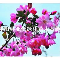 供应天津垂丝海棠树价格多少钱,垂丝海棠苗圃报价多少钱