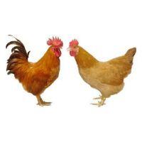 供应钟光禽业出售三黄鸡鸡雏