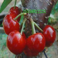 樱桃苗价格,大樱桃树苗,高产结果早的大樱桃苗