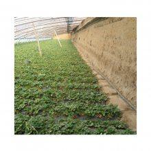 温室大棚草莓膜下滴灌栽培技术指导