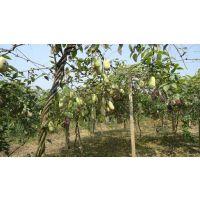 农村致富野果九月瓜(黄金蕉)种植