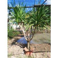 景观树盆栽,龙血树