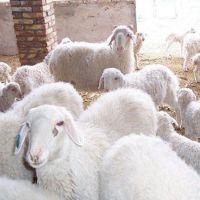羊 小尾寒羊 肉羊 育肥羊 养羊效益