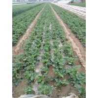 的草莓苗批发基地在哪里/种草莓去哪里批发草莓苗
