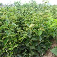 树干又粗又大,品种好,枝叶开展,优质柿子树。