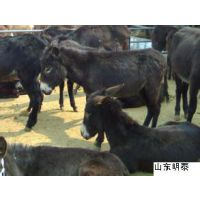 山东明泰德州驴的养殖场 山东养驴场产地肉驴 驴苗活驴骡子批发养殖场