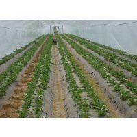 草莓种苗多少钱 山东草莓种苗批发行情
