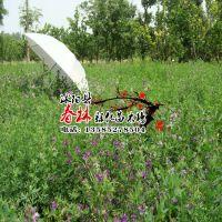 供应三得利 紫花苜蓿种子 休眠级6级 包发芽率 40元一公斤 高产