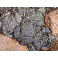 石蛙养殖技术培训