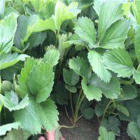 广东草莓苗 哪里有组培草莓苗 哪里有便宜草莓苗
