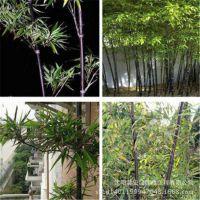 庭院观赏绿化植物 紫竹苗 规格齐全 金镶玉竹子 紫竹根 可做盆栽