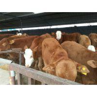 广西***适合养那种牛广东养殖什么品种的肉牛效益