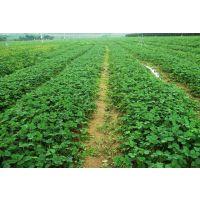 河北红颜草莓苗繁育基地 河北四叶一芯草莓苗 河北第三代红颜草莓苗生产苗
