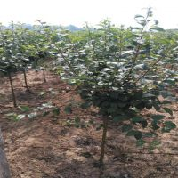 热销当年开花西府海棠 苗圃直销优质西府海棠 庭院种植工程绿化苗