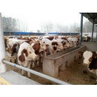 西门塔尔小牛犊价格多少钱一头