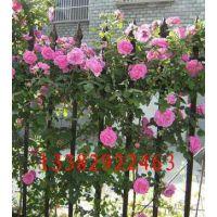 出售多年生蔷薇3-5分支1-1.5米高