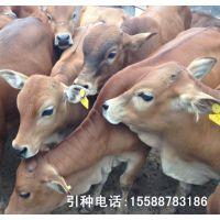 供应广西肉牛养殖场 桂林养牛场 云南肉牛养殖基地小牛多少钱一有