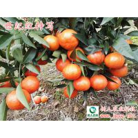 世纪红到底怎么样?好吃吗?柑橘苗哪里有?