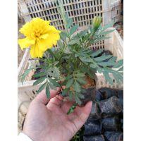 橙色黄色孔雀草种植基地|山东青州孔雀草批发价格