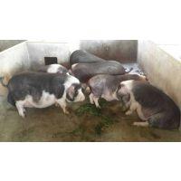 湖南宁乡优良猪肉肥而不腻厂家销售