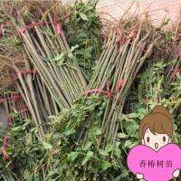 河南供应大量占地香椿树苗 红油香椿树苗报价图片