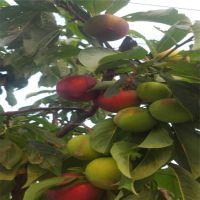 蜂糖李子苗价格 清脆李子苗种植基地 美国杏李