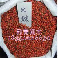 低价出售火棘种子 新采苗木种子 保质保量 出芽率高 价格低廉