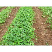 山东供应红颜草莓苗 栽培草莓苗的季节 好吃草莓快快选购